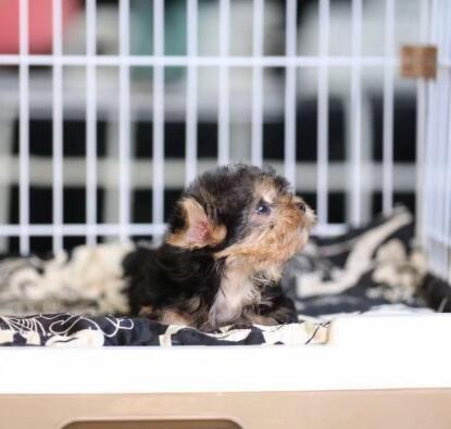 金头黑背银背钢蓝色宠物约克夏狗狗幼犬 出售