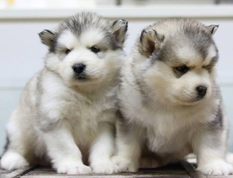 精品阿拉斯加犬幼犬一对一视频服务买着放心赠送全套宠物用品