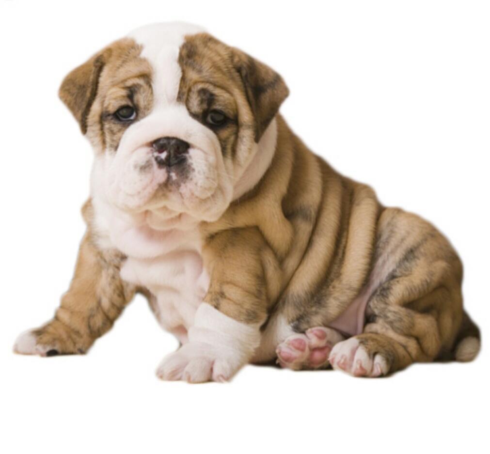 高品质英国斗牛犬  保纯种保健康 视频看狗可签协议