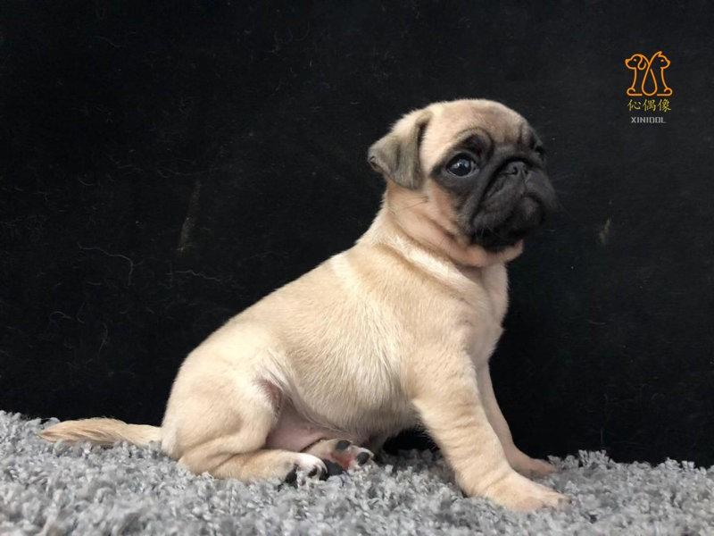 正规基地出售鹰嘴巴哥犬幼犬高品质血统纯正签协议