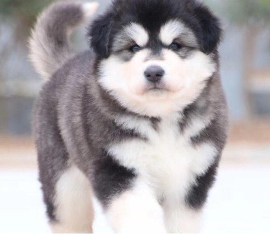 大型犬舍低价热卖极品阿拉斯加犬签订三包合同