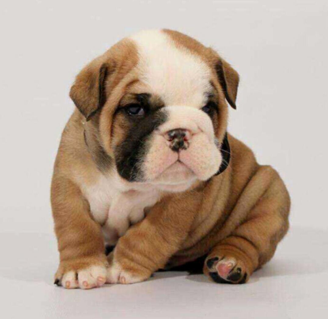 热销英国斗牛犬幼犬、公母均有颜色齐全、讲诚信信誉好