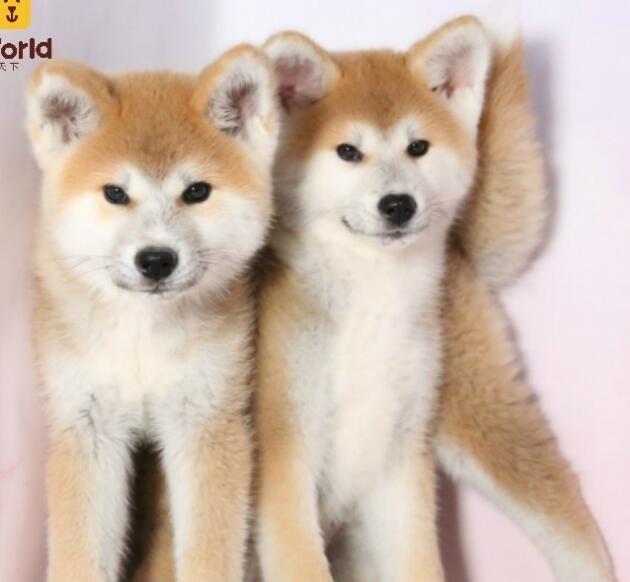 颜色全品相佳的秋田犬纯种宝宝热卖中假一赔万签活体协议