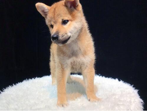 家养多只柴犬宝宝出售中价格低廉品质高
