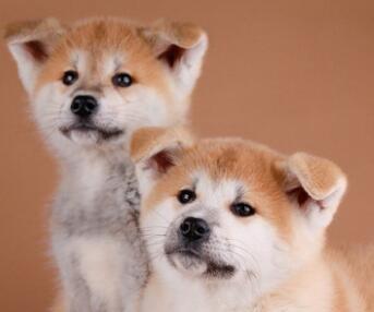 国内最具规模的赛级秋田犬犬舍,保健康 可签购犬协议