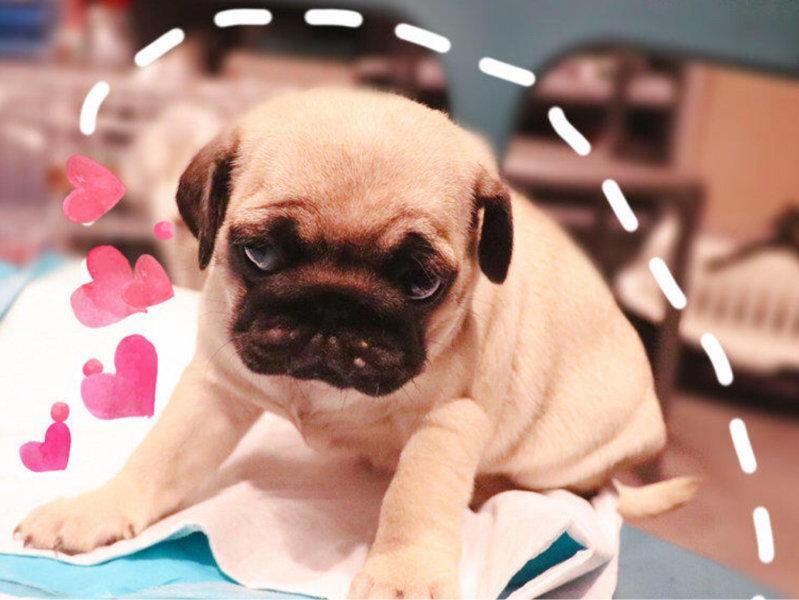 巴哥犬幼犬找新家毛色靓丽长相可爱多只可挑选