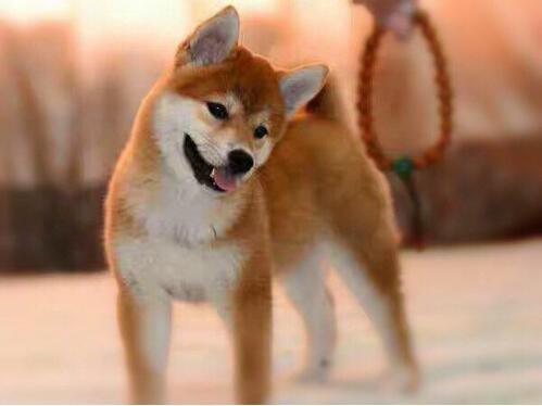 自家狗场繁殖直销柴犬幼犬微信咨询看狗狗照片