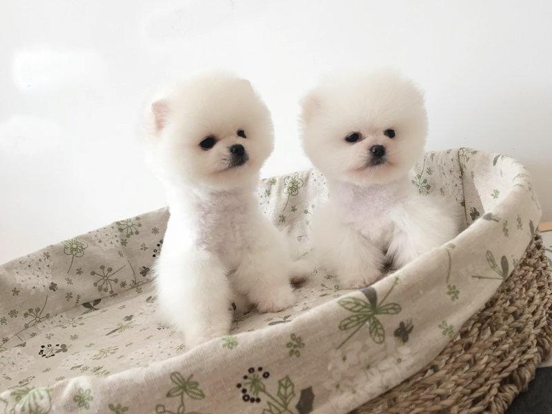 极品博美、国内最具规模的博美犬犬舍,保纯种保健康