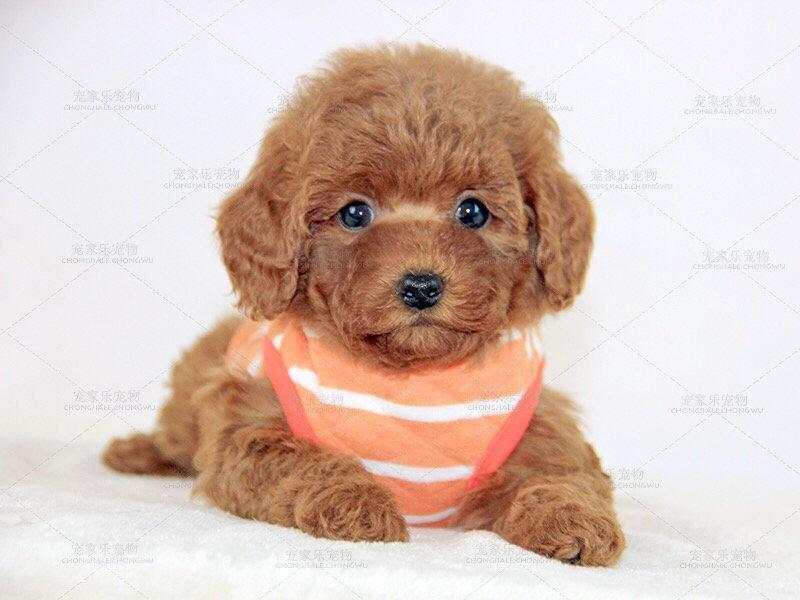 正宗极品泰迪犬绝对血统纯正包养活送用品