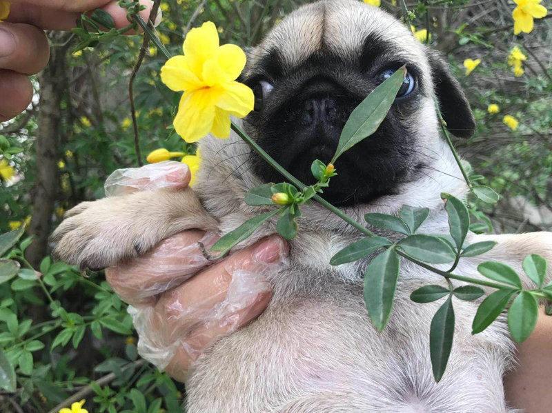 知名犬舍出售多只赛级巴哥犬签订协议终身质保