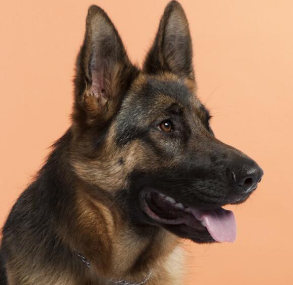 极品德牧幼犬已做完疫苗驱虫品相好已立耳的德牧