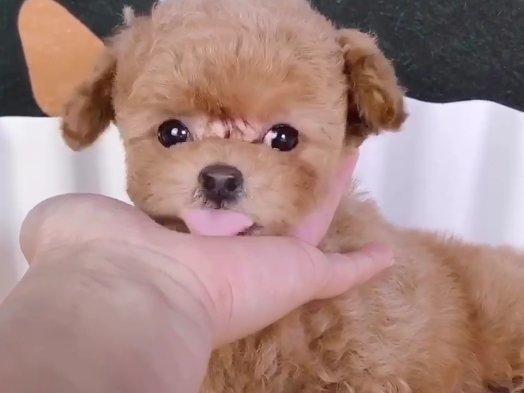 可爱韩系泰迪犬特价出售中 纯家养保证品质和健康