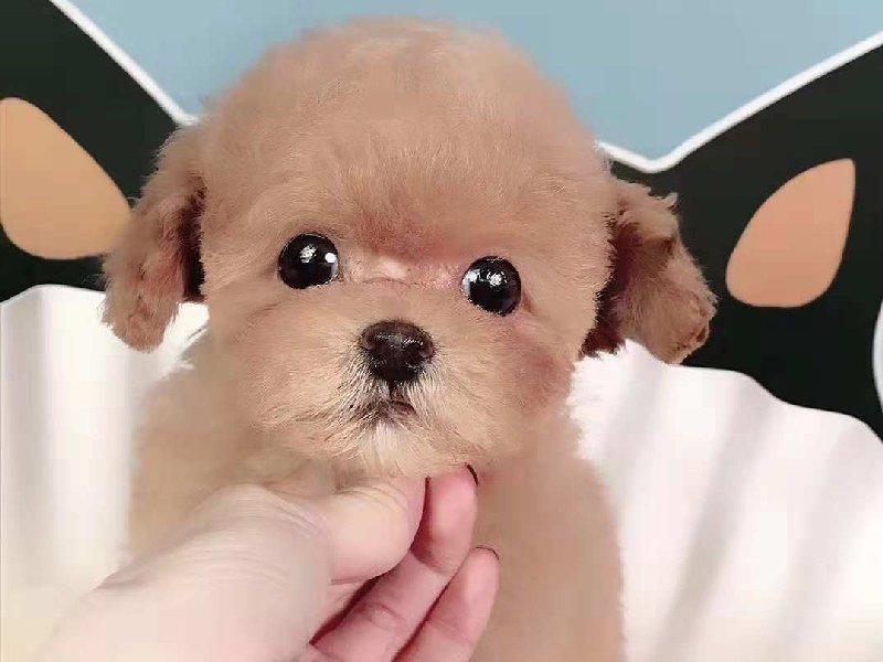 纯种茶杯犬直销、注射芯片颁发证书、提供养狗指导