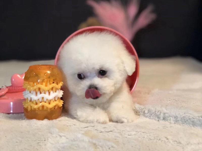 白色粉扑棉花糖幼犬售纯种比熊犬幼犬可挑