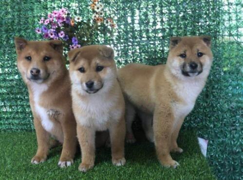 极品柴犬热销中,金牌店铺放心选,提供养狗指导