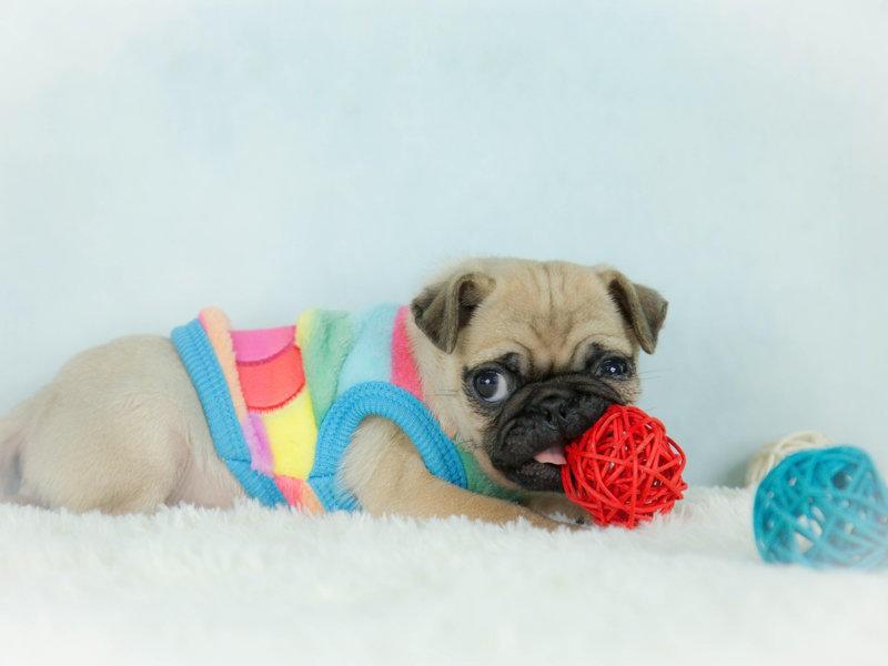 巴哥犬幼崽出售中,血统认证保健康,绝对信誉保证