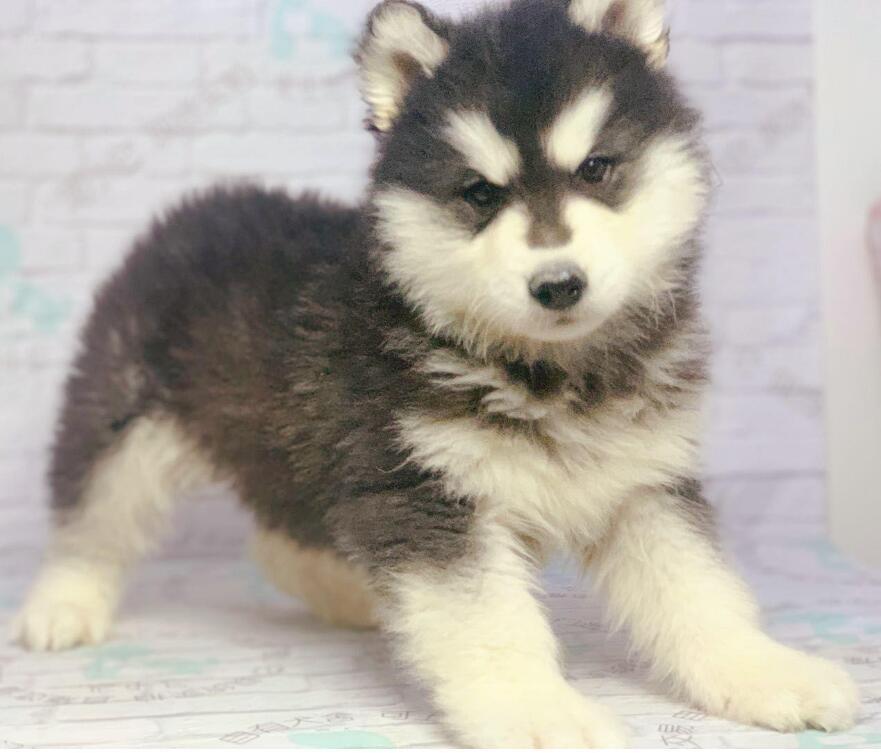 赛级阿拉斯加犬宝宝、公母均有多只选择、可送货上门