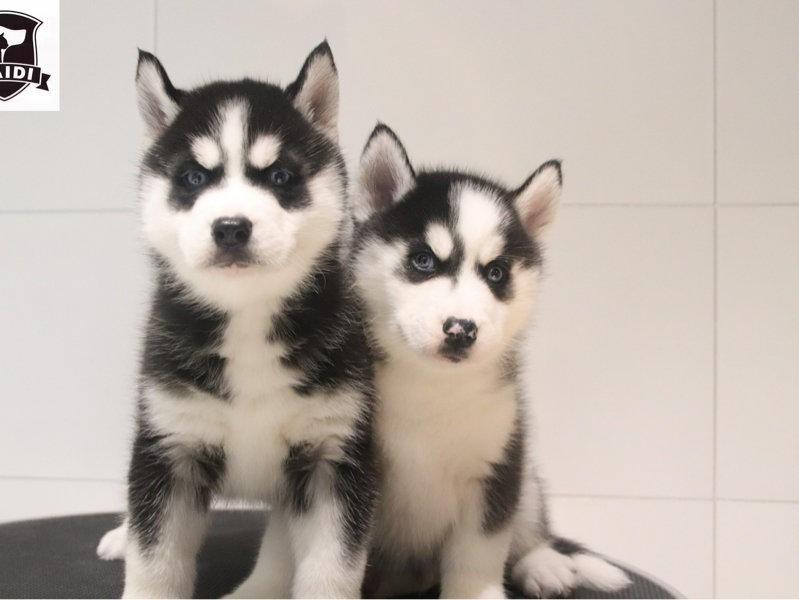 CKU认证犬舍 专业出售极品 哈士奇幼犬真实照片包纯