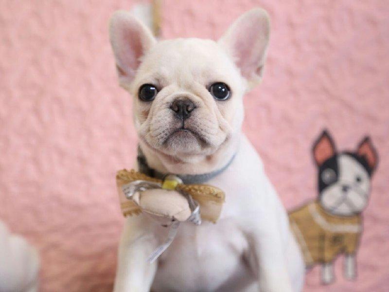法国斗牛犬幼犬出售中,品质极佳品相超好,质保全国送货