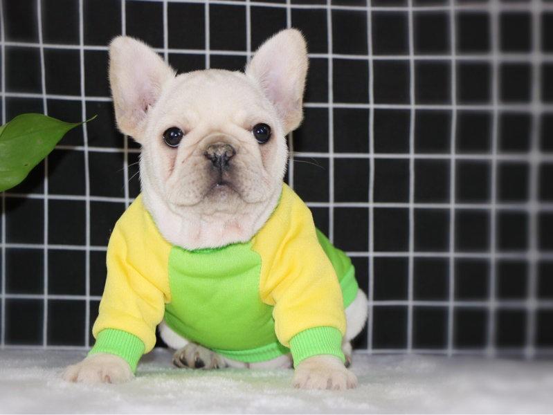 100%纯种健康的法国斗牛犬出售微信看狗可见父母