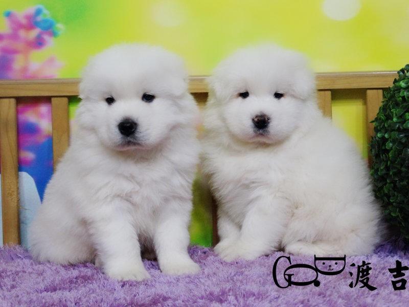 国内最具规模的萨摩耶犬繁殖犬舍,保纯种保健康