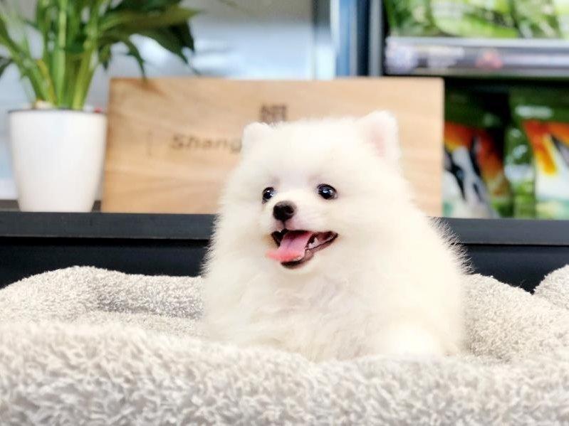 极品博美犬 保纯种保健康 CKU认证犬舍 可签协议