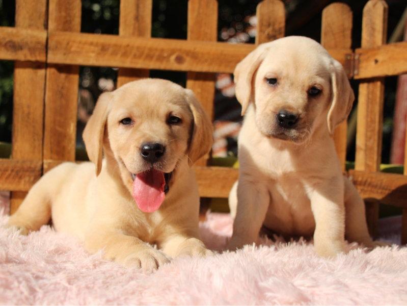 自家繁殖赛级血统拉布拉多犬 质保终生 可送货上门