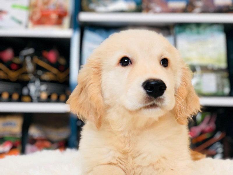 金毛寻回犬出售枫叶红金黄色都有聪明可爱小金毛宝
