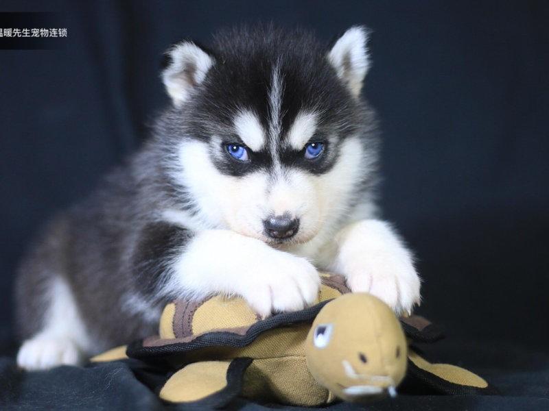 直销哈士奇幼犬、公母均有多只选择、提供养狗指导