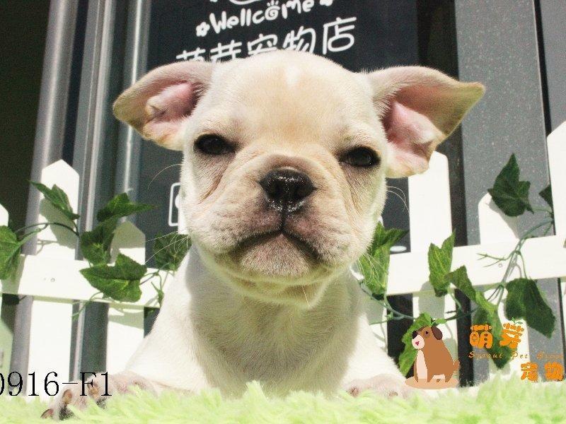 权威机构认证犬舍、专业法国斗牛犬培育 完美售后服务