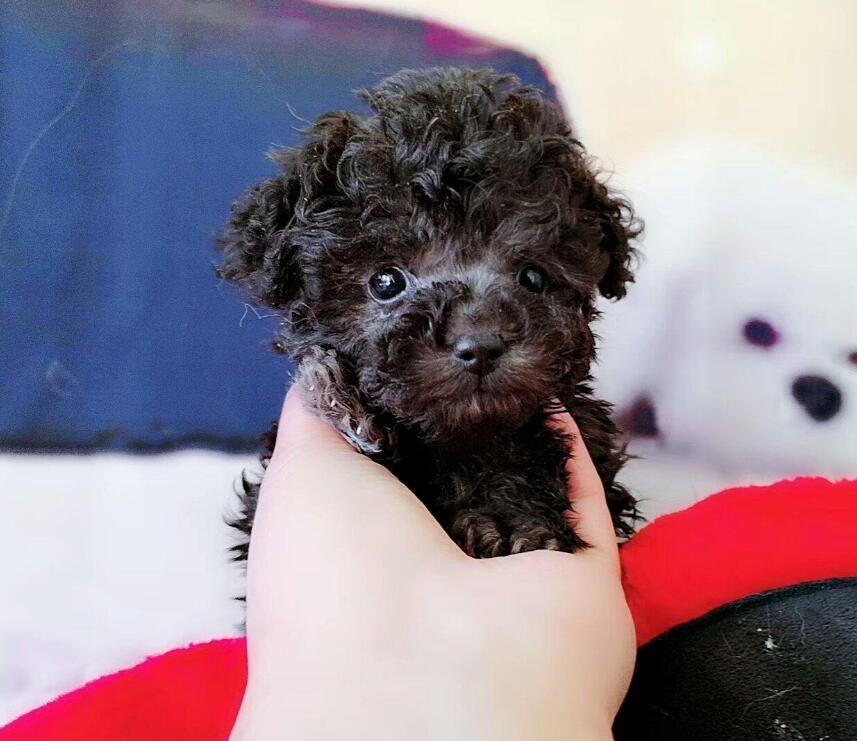 直销卷毛泰迪犬大眼睛长相可爱买泰迪签协议质保