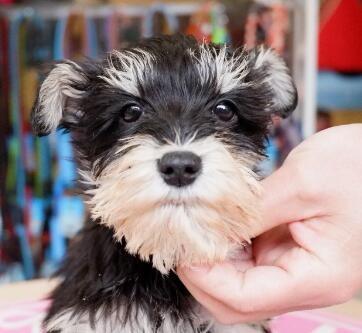 赛级精品大毛量迷你雪纳瑞幼犬出售,保证健康纯种