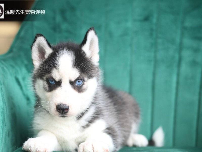 极品哈士奇犬出售高品质血统纯正可指导饲养