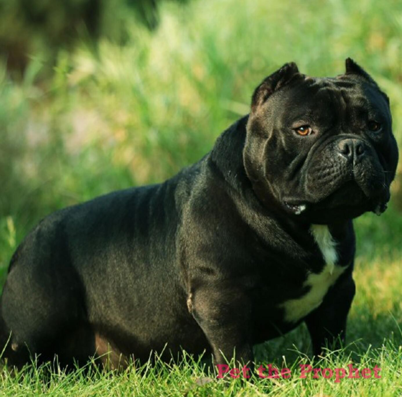 本地出售高品质美国恶霸犬宝宝CKU认证品质绝对保障