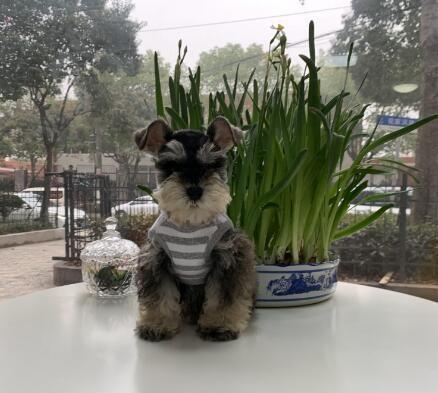 雪纳瑞幼犬出售毛色纯正品相好保健康签协议质保