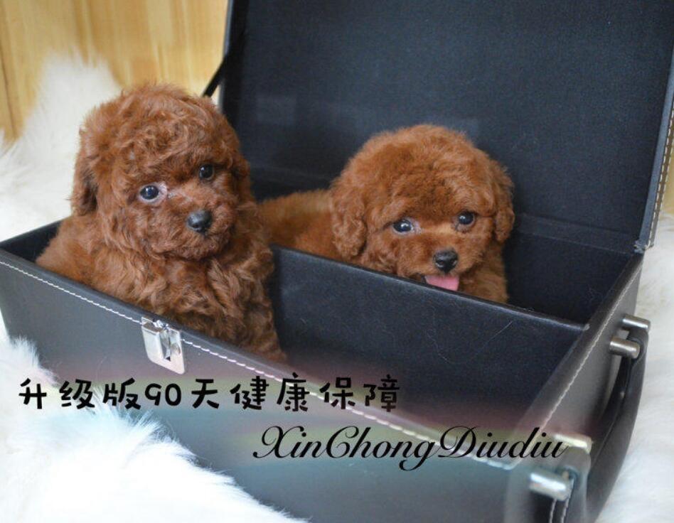 热销茶杯犬颜色齐全可见父母品质一流三包终身协议