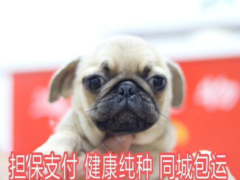 精心繁育纯种巴哥犬表情控超萌网红宠物犬巴哥幼犬