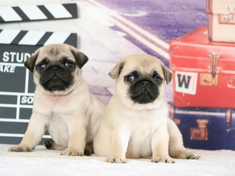 出售赛级巴哥犬,自家繁殖保养活,全国空运到家
