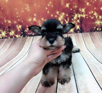 正规养殖场直销雪纳瑞幼犬聪慧机警可看家的宠物狗