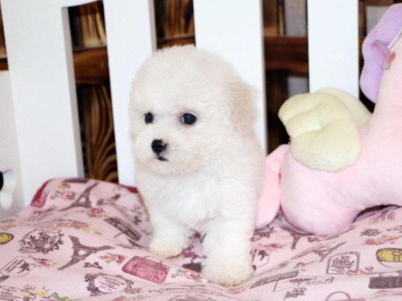 自家养比熊犬幼犬找新家不掉毛无异味的宠物狗比熊