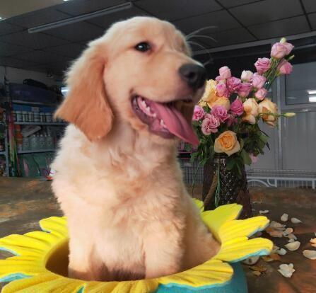 赛级精品金毛幼犬出售,保证健康纯种,在乎品质的来