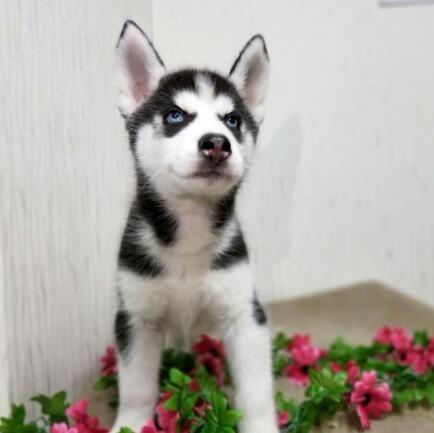 直销哈士奇雪橇犬纯正血统品相一流大骨架哈士奇犬