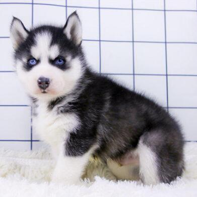 直销极品哈士奇幼犬健康有保障有问题可退换包养活