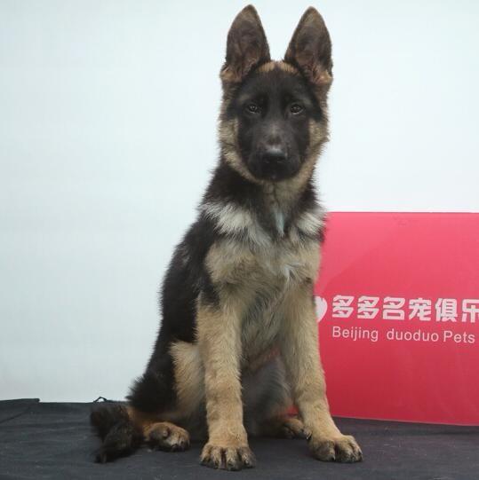 宽嘴大头锤系德国牧羊犬待售三个月有问题包退换