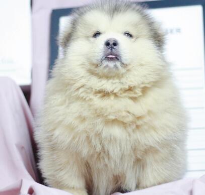 阿拉斯加犬幼犬 熊版大阿犬防疫齐全多只待选