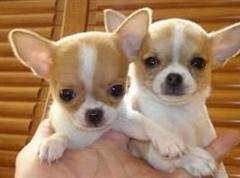 遵义繁殖基地直销吉娃娃犬纯种健康上门优惠包疫苗