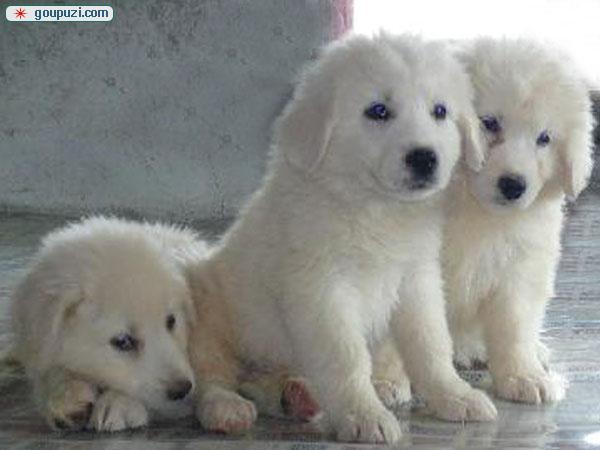 自家繁殖巨型大白熊犬,骨量大,品相好,不要错过了