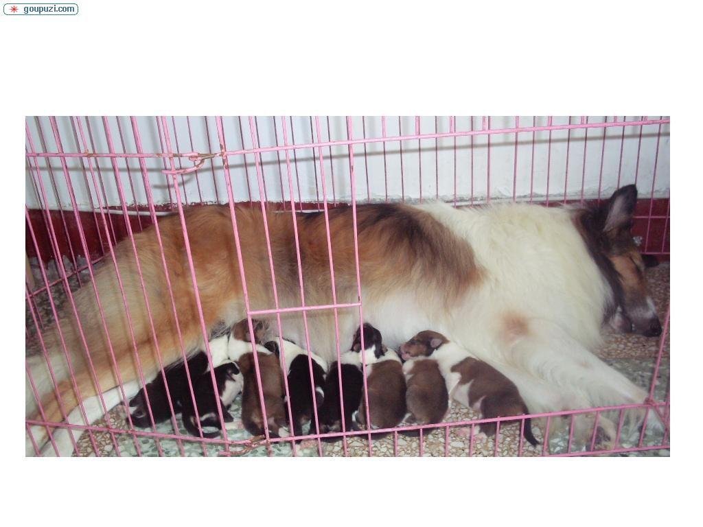 黑色 苏格兰牧羊犬/刚出生的苏格兰牧羊犬0黑色0雕色0都有/ 狗铺