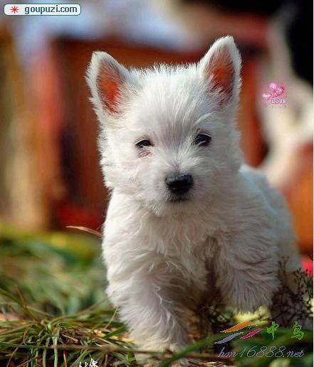极品西高地幼犬、精心繁育品质优良、三年质保协议