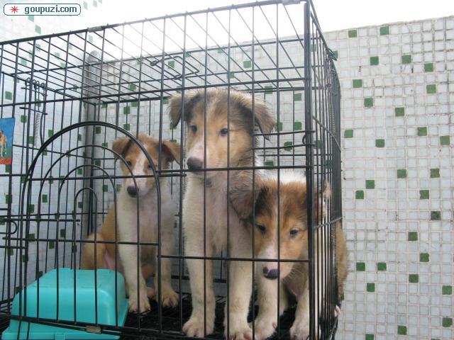 深圳罗湖区出售纯种健康的苏格兰牧羊犬BB